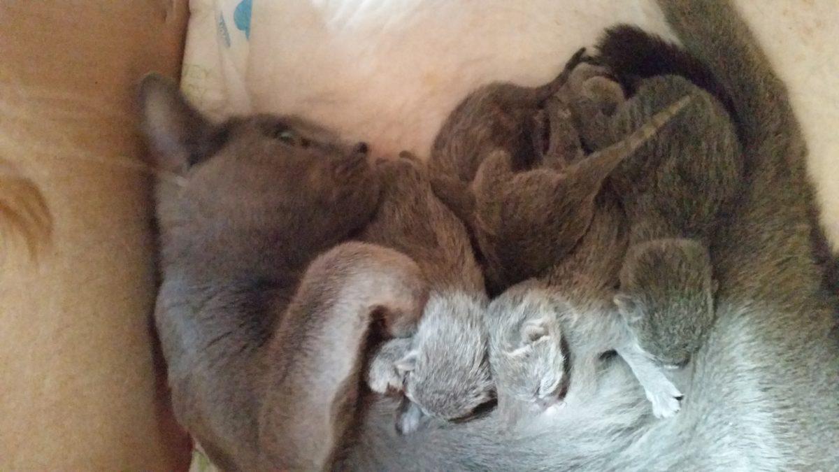 Vrh E - koťátka Ruské modré kočky