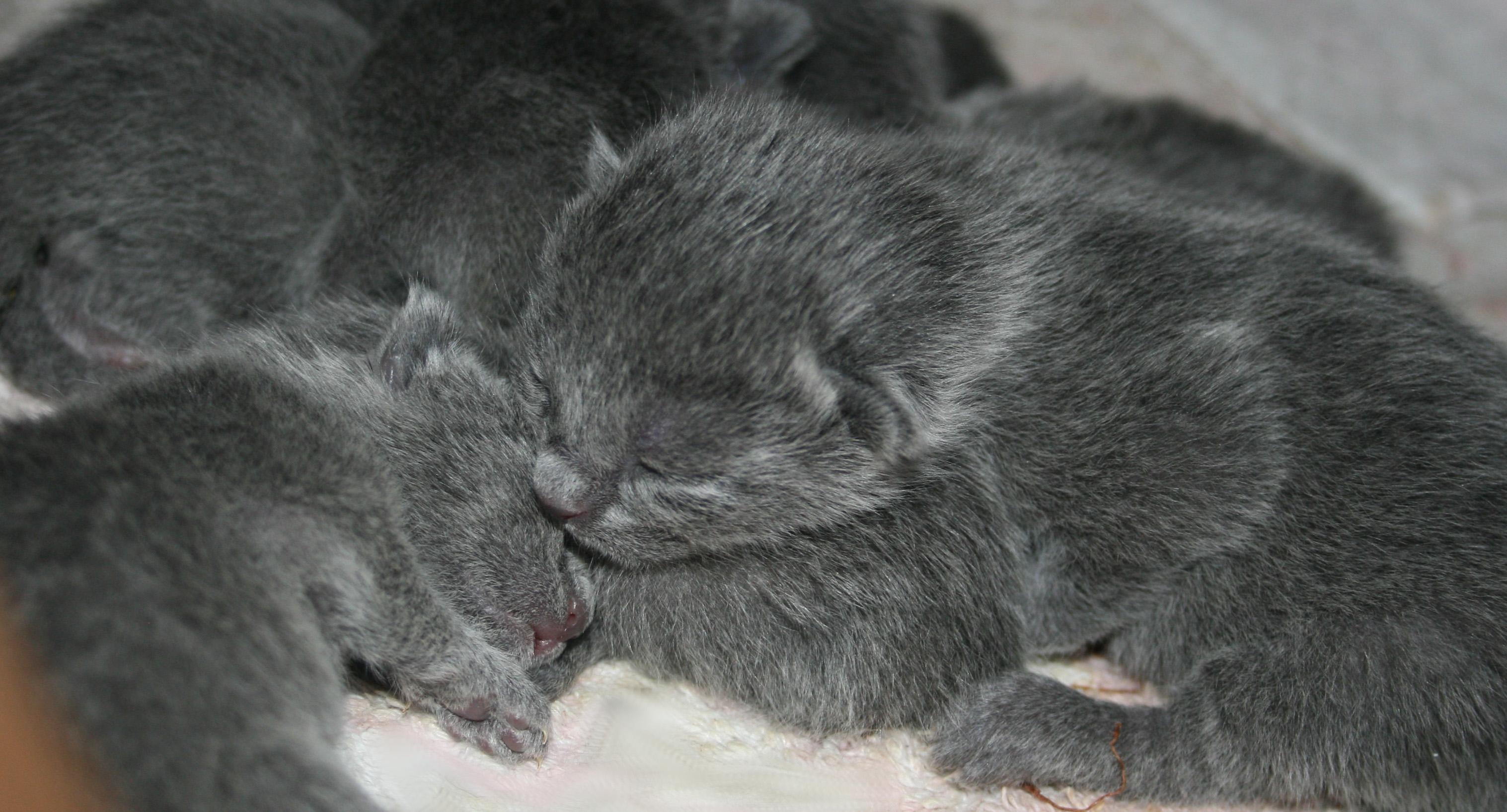 Vrh C- koťátka Ruská modré kočky