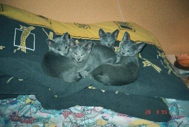 Vrh A - koťátka Ruská modré kočky