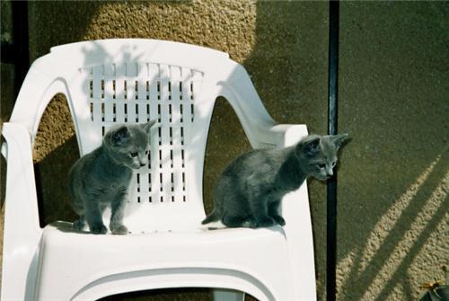 Vrh B- koťátka Ruská modré kočky